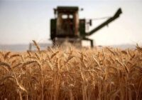 افت تولید گندم در گلستان