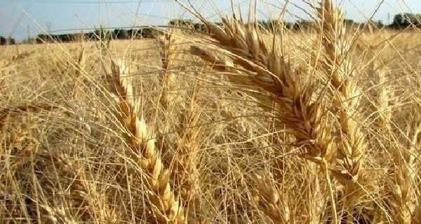 ۳.۲ میلیون تُن گندم از کشاورزان ازجمله گلستانی ها خریداری شد